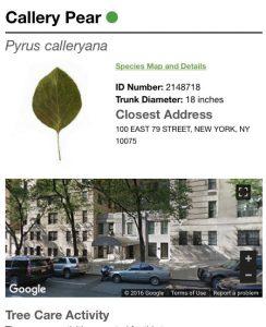Foto extraída do site oficial de uma Pyrus Calleryana, da 100 East 79 Street.